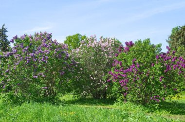 Blooming lilac of different varieties in the Botanical garden on a Sunny spring day