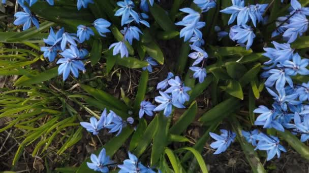 Blue Scilla flowers in garden. First spring flowers swing in wind on sunny day