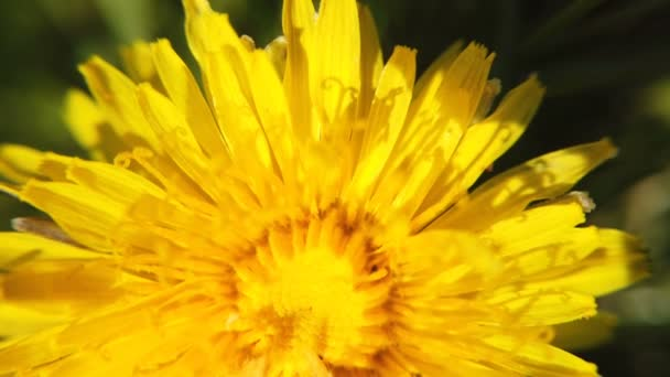 Žluté dandeliy na zelené louce ve jarní době. Krásný žlutý květ