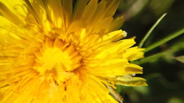 yellow Dandelion flowers turn