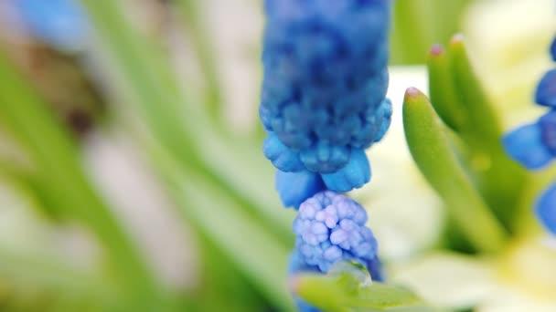 Footage gyönyörű kék keményítő szőlő Jácint virágok nyílnak tavaszi kert