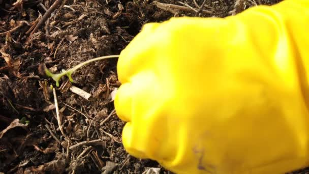 Kertész ültetés palánták. Farmer kezében ültetés a talaj káposzta csemete a konyhakert