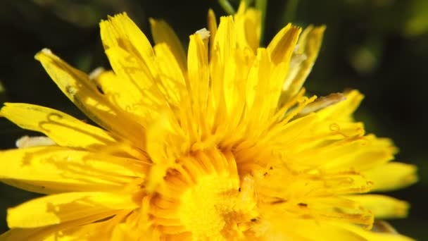 Yellow dandelions on green meadow in springtime. Beautiful yellow dandelion blossoms
