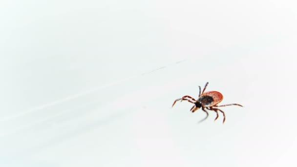 Entsifalitny roztoči plazící se po bílém povrchu. Krev sající hmyz izolovaný na bílém pozadí. Lesní klíšťata přenašeče onemocnění encefalitidy