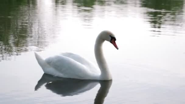 Swan proudly floats on the lake