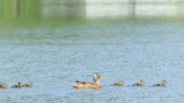 Duck with ducklings swims along the lake