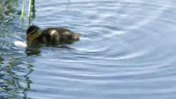 Entchen essen Brot im See, Sommer