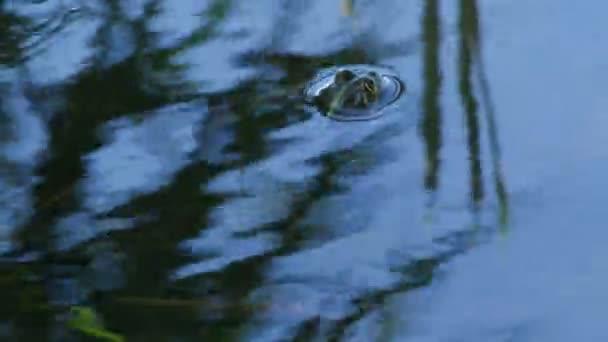 ein Frosch sitzt tief im See, ein Auge ragt heraus