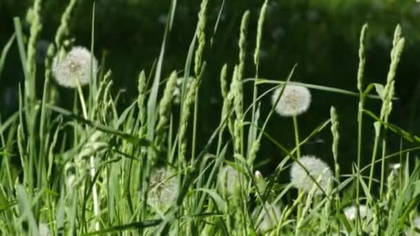 Velká louka s bílými nadýchanými pampelišky