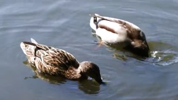 Ducks male and female swim on the lake and dive for food