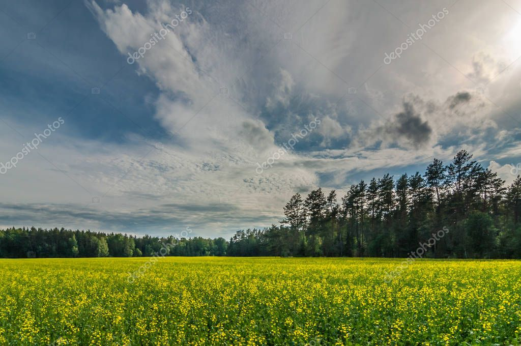 Summer landscape. Field with blossoming raps in front of a forest under a beautiful evening sky
