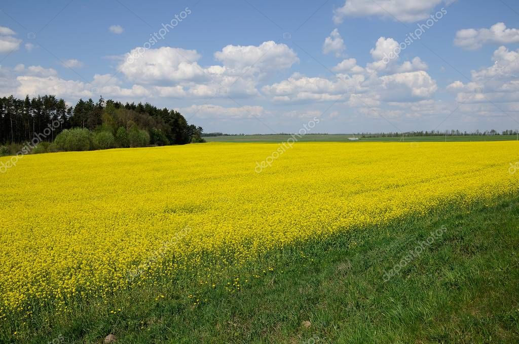 agricultural raps field with the forest and the blue cloudy sky