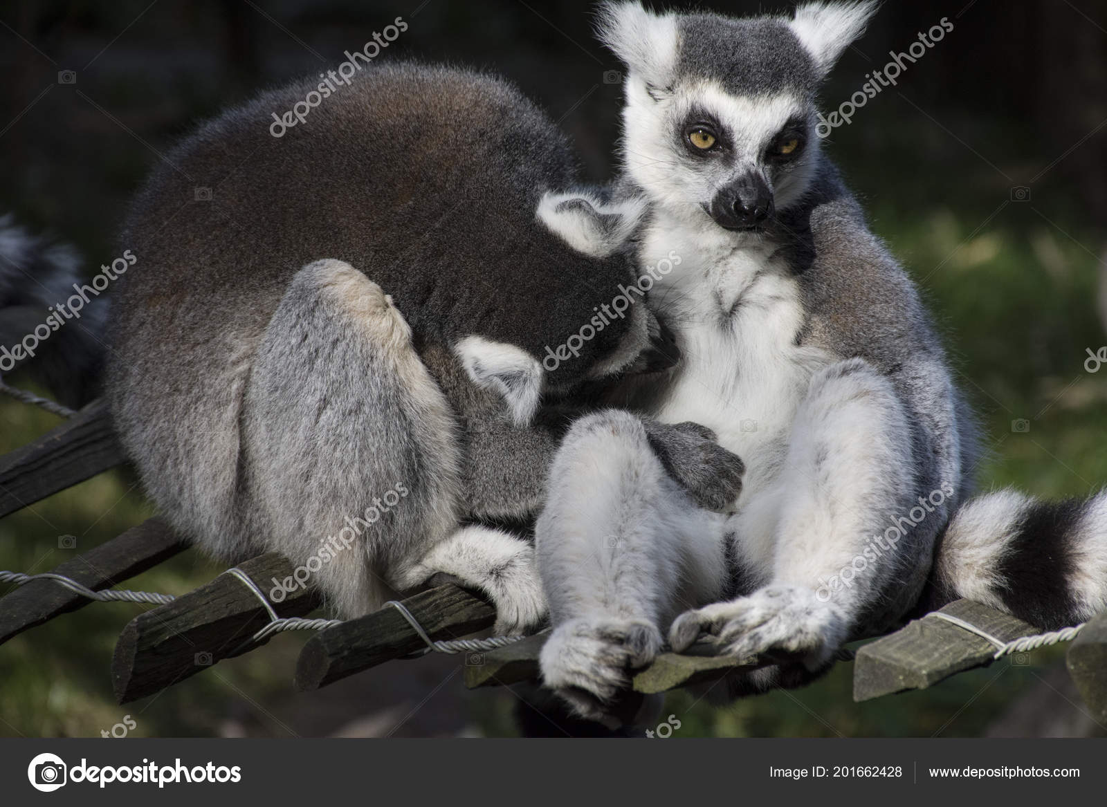 Kuscheln Maki Lemuren Primaten Affen Südafrika Madagaskar