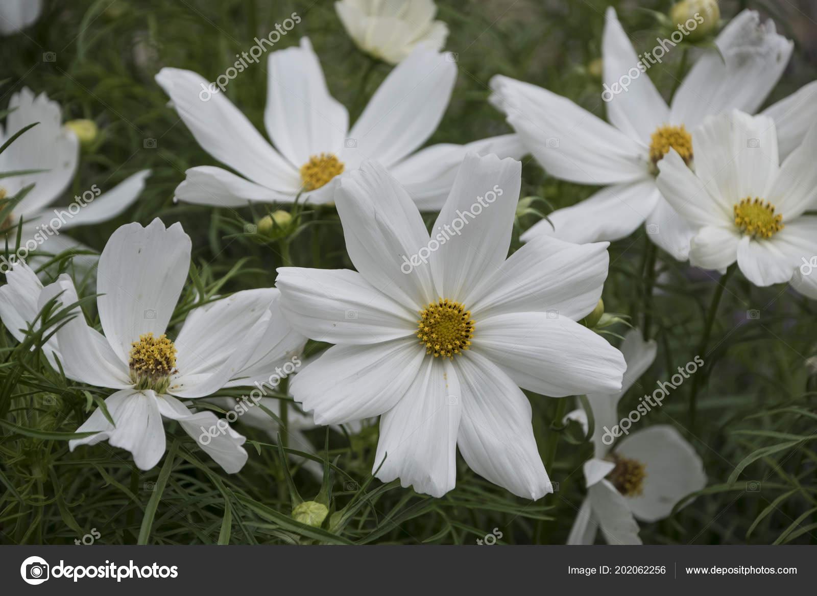 Summer flowers white cosmos flowers latin cosmos bipinnatus stock summer flowers white cosmos flowers latin cosmos bipinnatus stock photo mightylinksfo