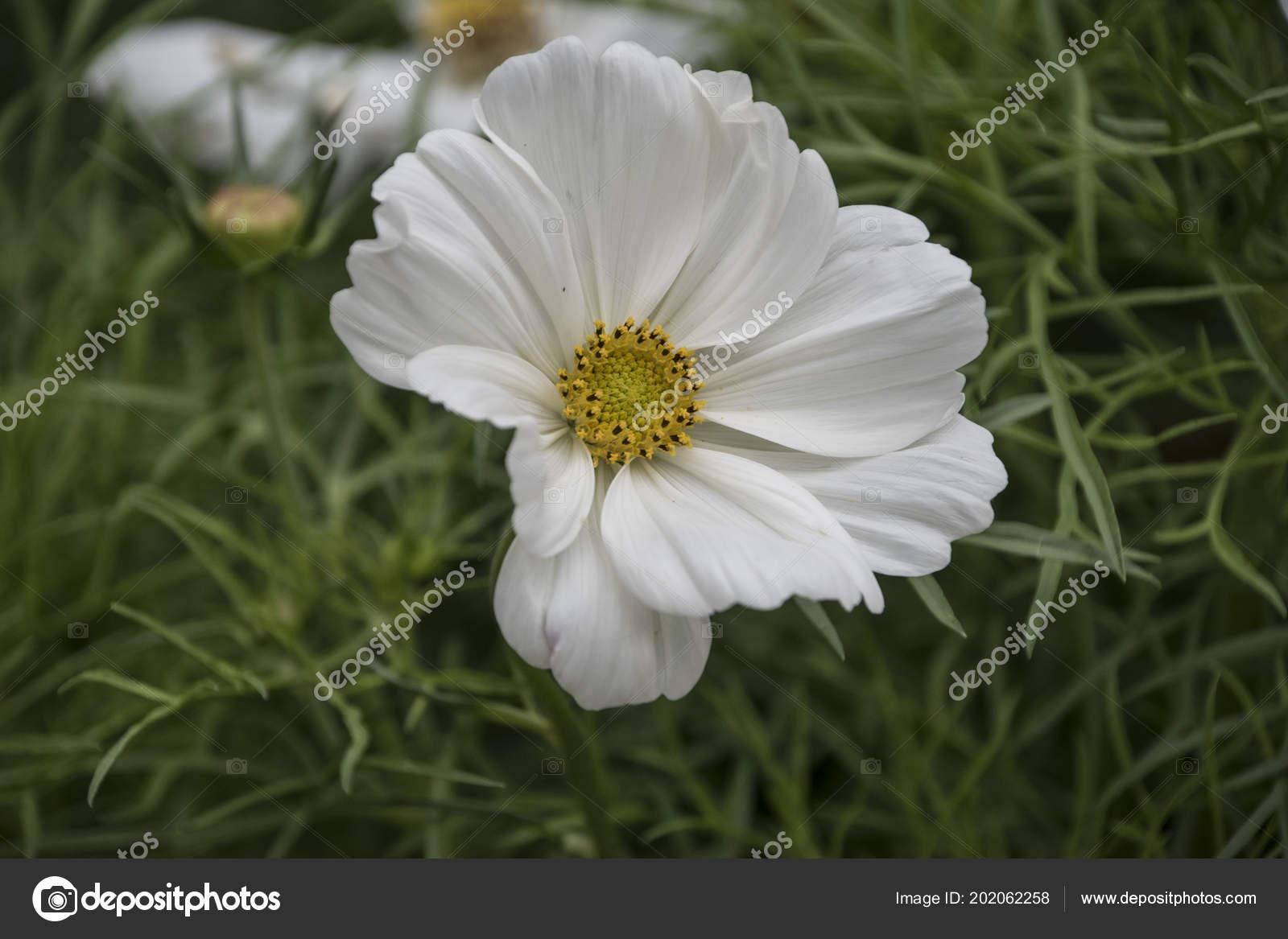 Summer flower white cosmos flower latin cosmos bipinnatus stock summer flower white cosmos flower latin cosmos bipinnatus stock photo mightylinksfo