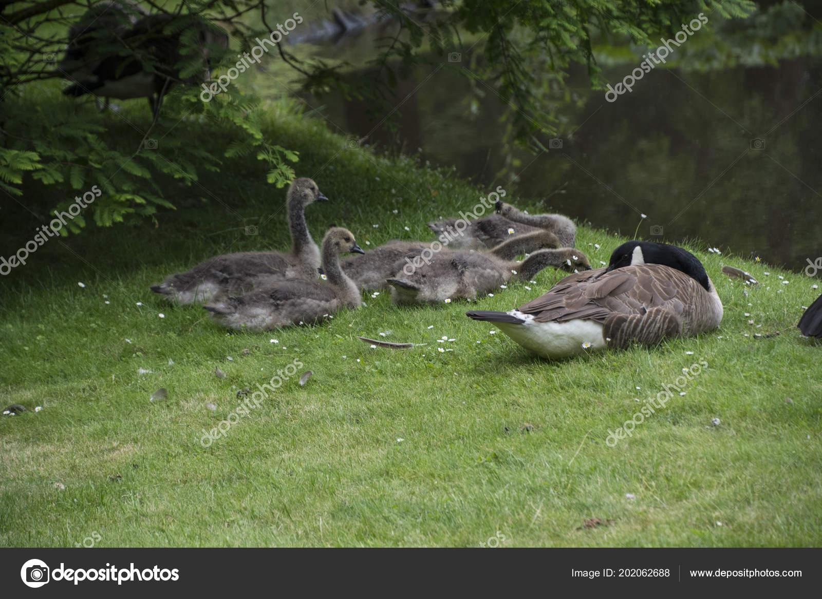 official photos cbb08 008ff Kanadische Gans Familie Mit Gänsel Aka Baby Gänse Auf Der ...