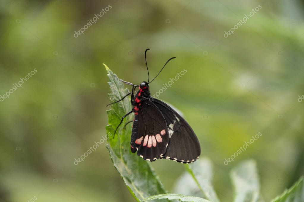Red-spotted Purple or White Admiral Limenitis arthemis