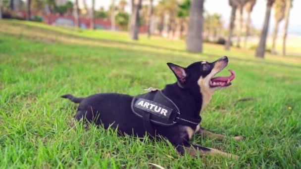 Kis kutya nevű Artur tulajdonos pihentető a füvön