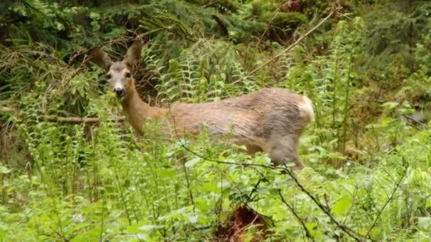 Female european roe deer, (Capreolus capreolus)