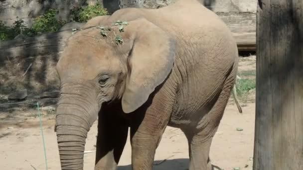 Slon africký, (Loxodonta africana), africké savany slon