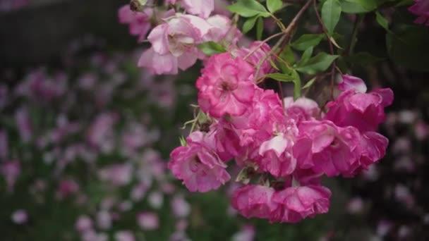 Flowering bushes in the rose garden, Botanical garden