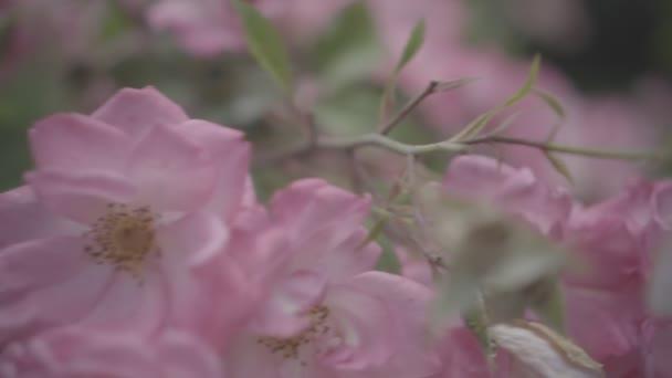 Flowering bushes in the rose garden, Botanical garden near greenhouse