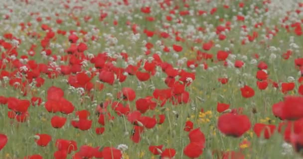 Red poppies bloom on the field. Flowers swaying in the wind. Summer landscape. Field, spring flowers.