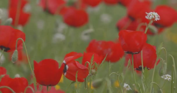Field of flowering poppies, closeup. Red poppies swinging in the wind. Wildflowers. Spring flowers. Summer landscape.