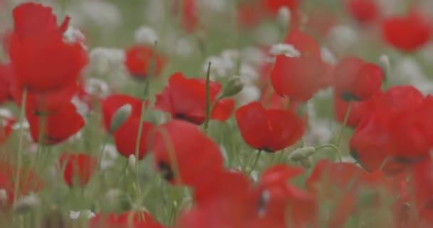 Területén virágzás Pipacsok, closeup. Piros Pipacsok lengett a szélben. Vadvirágok. Tavaszi virágok. Nyári táj.