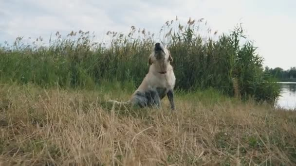 Dog breed labrador or golden retriever sits on the grass by the river and barks. Training of domestic animal outdoor at nature. Wet angry golden retriever near lake. Slow motion Close up Dolly shot