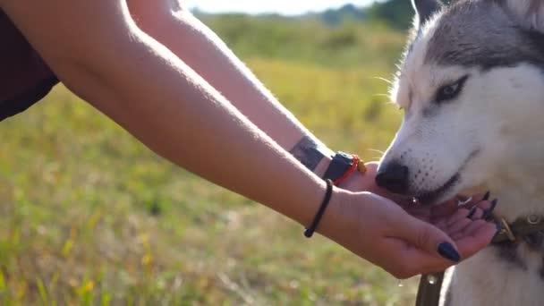 Husky Junghund Trinkwasser aus den Händen der Besitzerin in die Natur. Aqua wird in einem dünnen Strahl in die Hände des Mädchens gegossen. Haustier Durst am Sommertag. Nahaufnahme Seitenansicht