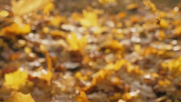 Camera following to yellow maple leaves falling to ground in autumn forest. Sun illuminates dry fallen foliage. Colorful fall season. Background is defocused. Slow motion
