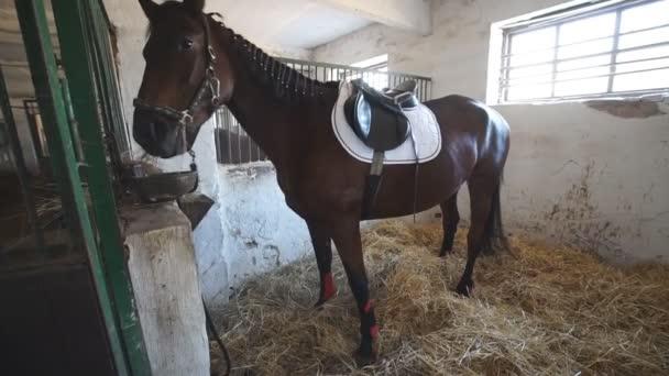 Krásný čistokrevný kůň stojí v ohradě a jí slámu. Sportovní hnědá klisna pasoucí se na farmě. Uzavření pomalého pohybu