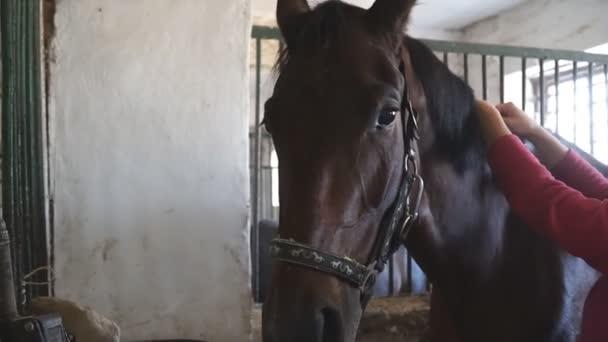 Nahaufnahme Maulkorb der schönen braunen Pferd Blick in die Kamera. Unerkennbarer Jockey bereitet sein Haustier auf den Wettkampf oder das Reiten vor. Männliche Hände, die sich um Tiere kümmern. Zeitlupe