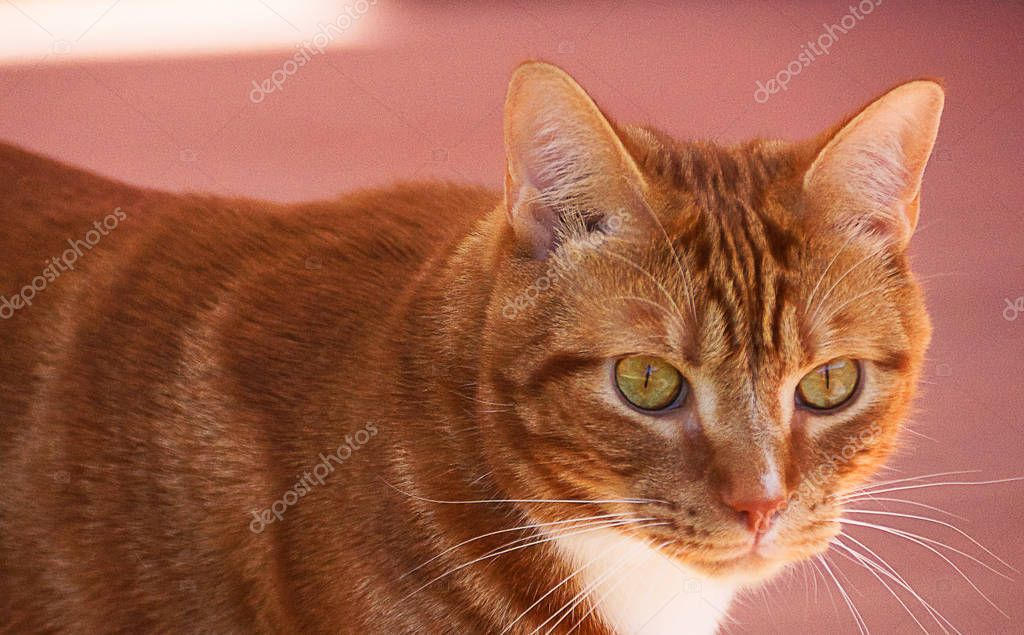 Portrait of cute domestic red cat close up on the pink background.