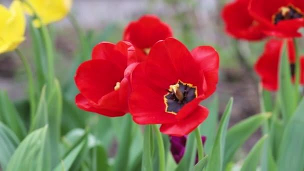 Vörös tulipánok ringatóznak a szélben