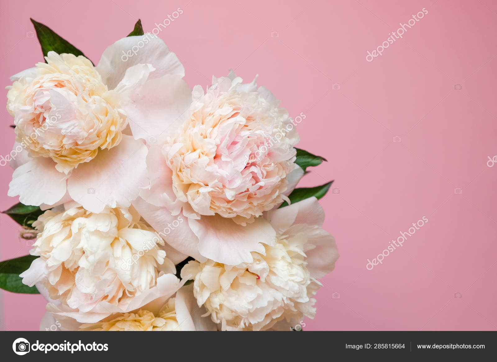 Beautiful White Peony Bouquet Close Up On Pink Background Top View Flat Lay Stock Photo C Photodiod Gmail Com 285815664