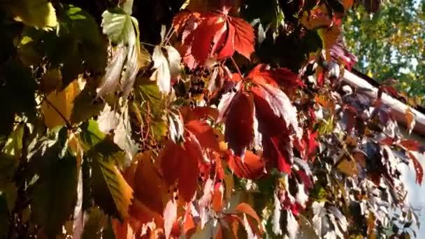 Vörös őszi szőlőlevelek. Őszi erdei szépség. Aranyfa levelek. Napsugár. Kiváló minőségű 4k felvételek