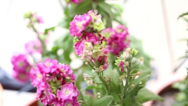 blooming pink violet flowers in the garden - pink viola - seasonal spring flowers