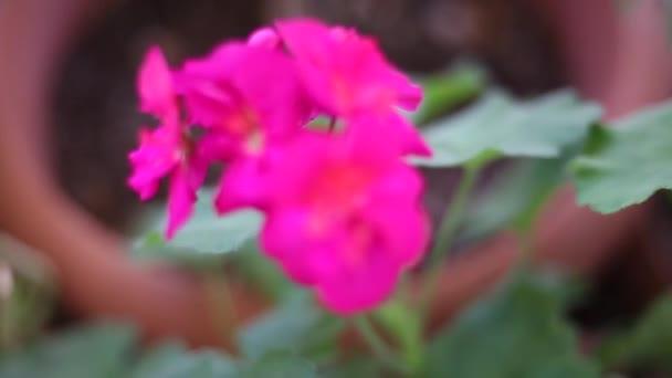 kvetoucí růžovou květinu v přírodě-sezonní jarní květy