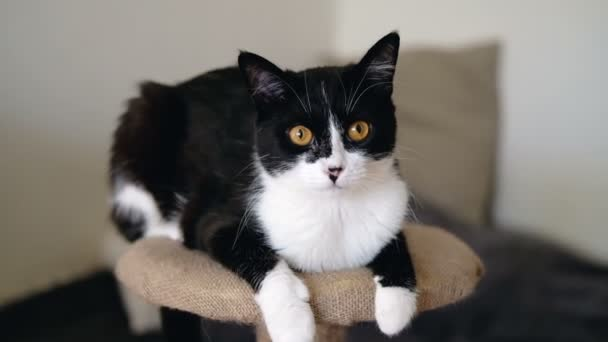 Black And White Tuxedo Funny Cat With Bright Orange Eyes Is Sitting On A Clawtail And Looking At The Camera Slow Motion Stock Video C Tumananet 235678826