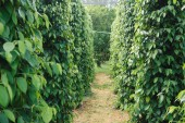 Pepper field at Phu Quoc, Viet Nam, group of pepper plant in green leaves
