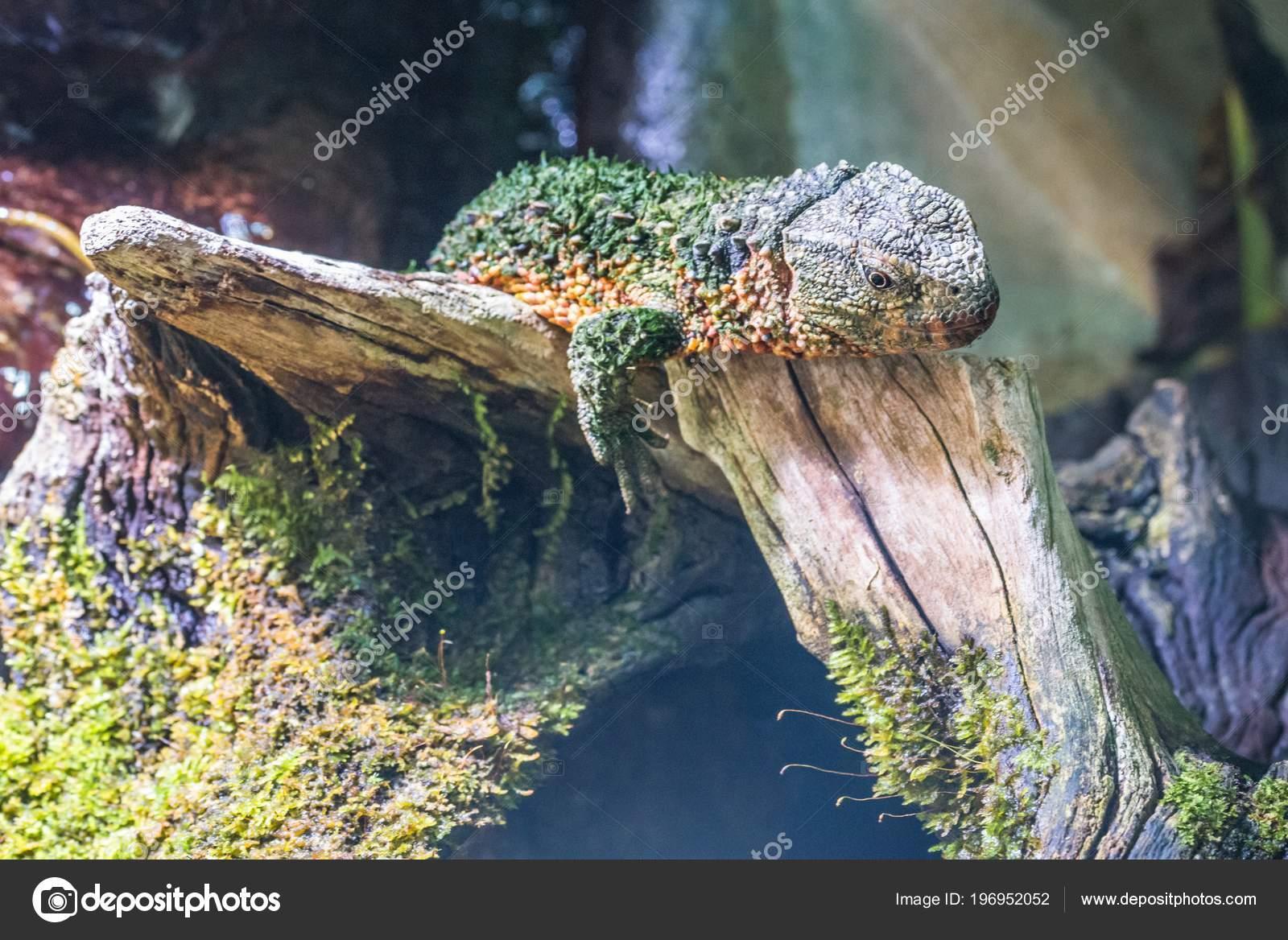 Crocodile Lizard Terrarium Stock Photo C Thomas Koschnick Gmx De