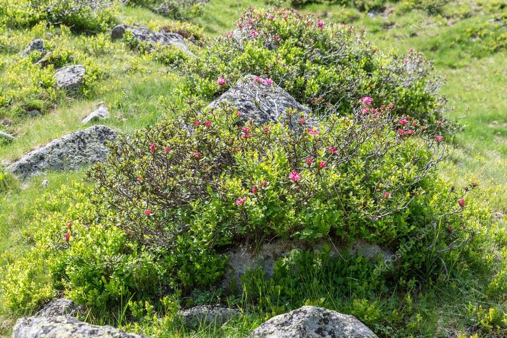 Alpine rose bush in the Alps, Austria