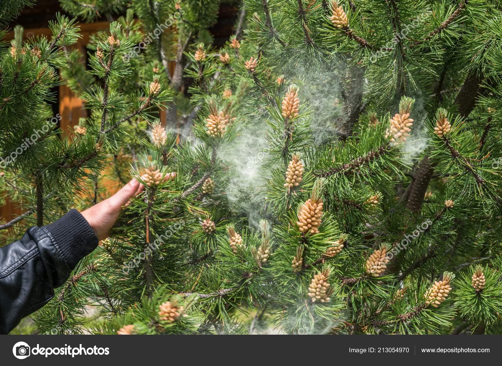 Cloud Pollen Pine Tree — Stock Photo © thomas_koschnick gmx de