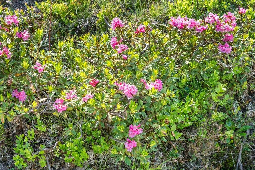 Alpine rose bush in a valley in the Alps, Austria