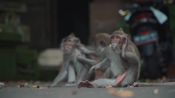 legrační opice rodina ležící na zemi a škrábání a hledání blechy