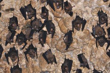 Bats sleep on the ceiling of a cave