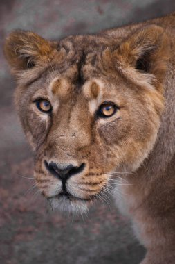 the lioness is calmly watching you The lioness is a strong and beautiful animal, demonstrates emotions. lion's head
