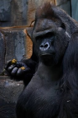 The big male gorilla stares puzzled at you